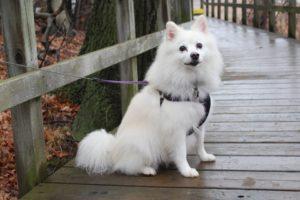 canadian-eskimo-dog-breed