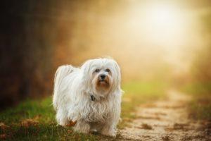 dog-havanese