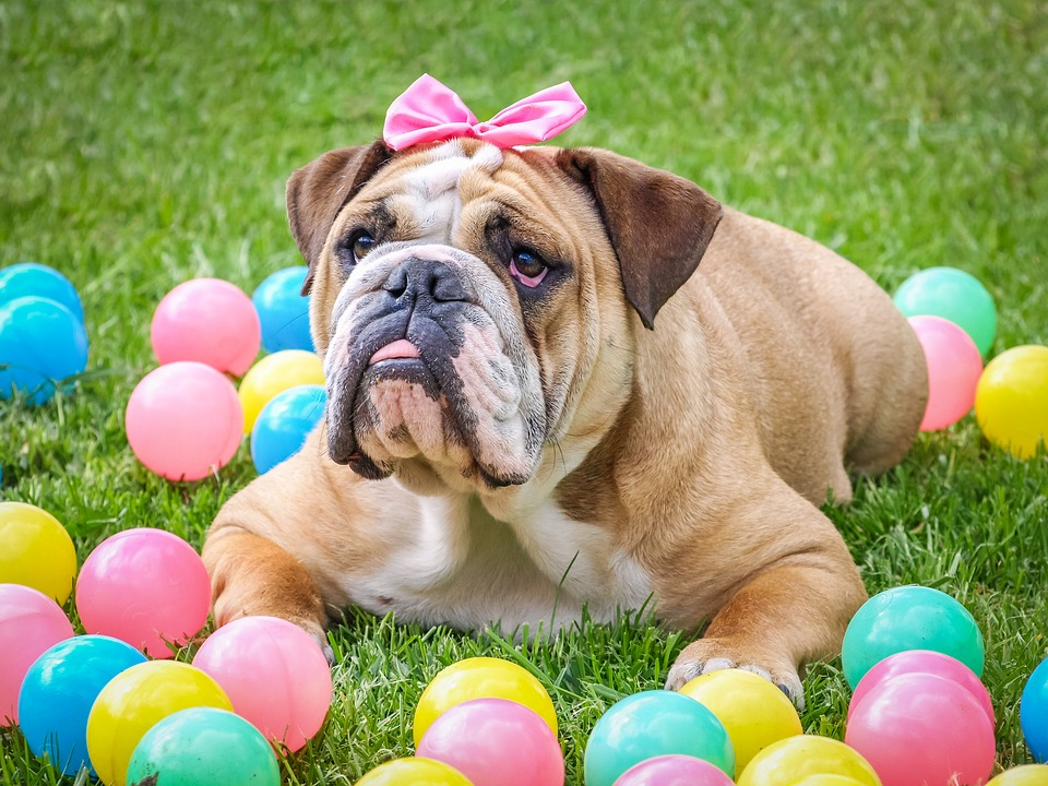 bulldog with pink bow